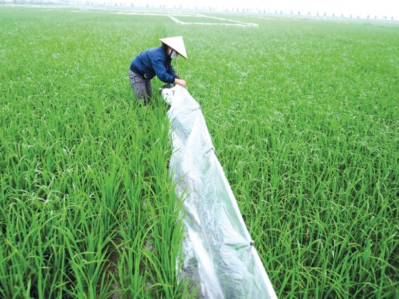 Diệt chuột tại đồng ruộng cho các hợp tác xã nông nghiệp:...