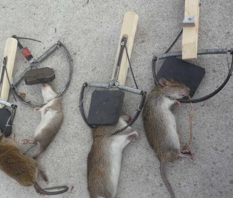 Dịch vụ diệt chuột chuyên nghiệp: 0982080836